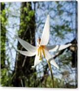 Close-up Of White Trout Lily Canvas Print