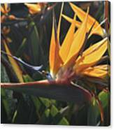 Close Up Photo Of A Bee On A Bird Of Paradise Flower  Canvas Print