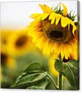 Close Up Single Sunflower In South Dakota Canvas Print