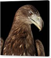Close-up White-tailed Eagle, Birds Of Prey Isolated On Black Bac Canvas Print