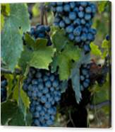 Close View Of Chianti Grapes Growing Canvas Print