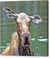 Close Wet Moose Canvas Print