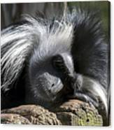 Closeup Of Black And White Angolian Primate Sleeping On Log Raft Canvas Print