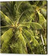 Closeup Of Coconut Palm Trees Canvas Print