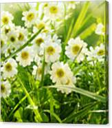 Closeup Of Daisies In Field Canvas Print