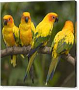 Closeup Of Four Captive Sun Parakeets Canvas Print