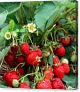 Closeup Of Fresh Organic Strawberries Growing On The Vine Canvas Print