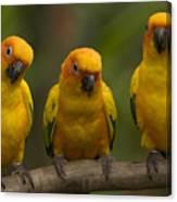 Closeup Of Three Captive Sun Parakeets Canvas Print