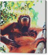 Closeup Portrait Of A Wild Sumatran Adult Female Orangutan Climbing Up The Tree And Holding A Baby Canvas Print