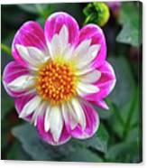 Closeup View Of A Dahlia That Was In The Cesky Krumlov Castle Gardens Canvas Print