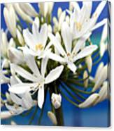 Closeup White Californian Flower Canvas Print