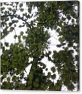 Cloudy Skies Through Maple Canvas Print