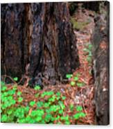 Clover And Redwood Canvas Print
