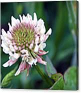Clover Blossom Canvas Print