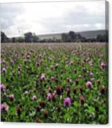 Clover Field Wiltshire England Canvas Print