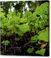 Clover In Montgomery Woods State Natural Reserve Canvas Print