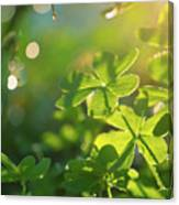 Clover Leaf In Garden, Macro Canvas Print