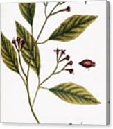Cloves, 1735 Canvas Print