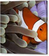 Clown Anemonefish, Indonesia Canvas Print