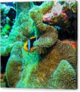 Clown2 With Anemone Canvas Print