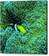 Clown4 With Anemone Canvas Print
