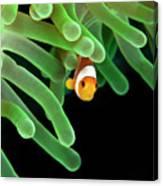 Clownfish On Green Anemone Canvas Print