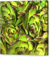 Clustered Succulents Canvas Print