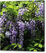 Clusters Of Wisteria Canvas Print