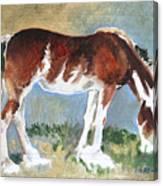 Clydesdale Colt Pad Canvas Print