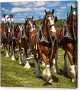Budweiser Clydesdale Horses Canvas Print