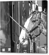 Clydesdale Shine Canvas Print
