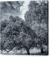 Coast Live Oak Monochrome Canvas Print