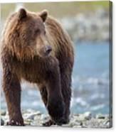 Coastal Brown Bear Canvas Print