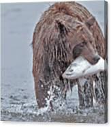 Coastal Brown Bear With Salmon  Canvas Print
