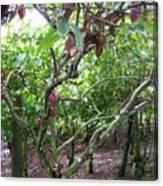 Cocoa Tree With Ripe Cocoa Pods Canvas Print