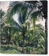 Coconut Farm Canvas Print