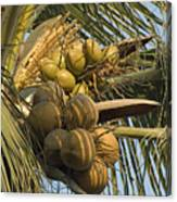 Coconuts Cluster At Los Tules Resort Canvas Print