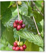 Coffea Coffee Growing In The Balinese Countryside. Canvas Print