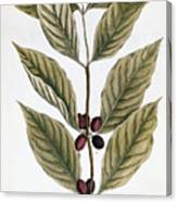 Coffee Plant, 1735 Canvas Print