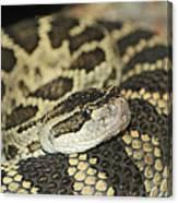 Coiled Rattlesnake Canvas Print