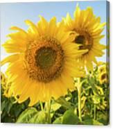 Colby Farms Sunflower Field Closeup Canvas Print