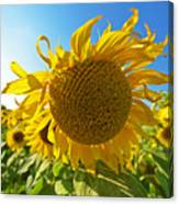 Colby Farms Sunflower Field Newbury Ma Ball Of Fire Canvas Print