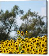 Colby Farms Sunflower Field Newbury Ma Standing Tall Canvas Print