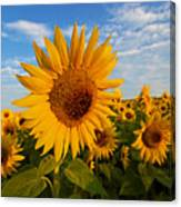 Colby Farms Sunflower Field Newbury Ma Sunrise Canvas Print