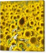 Colby Farms Sunflower Field Newbury Ma Canvas Print