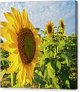 Colby Farms Sunflower Field Side Canvas Print