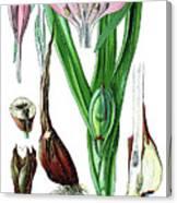Colchicum Autumnale, Commonly Known As Autumn Crocus, Meadow Saf Canvas Print
