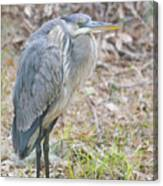 Cold Blue Heron Canvas Print