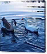 Cold Morning Swim 2 Canvas Print