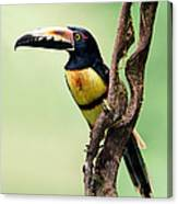 Collared Aracari Pteroglossus Canvas Print